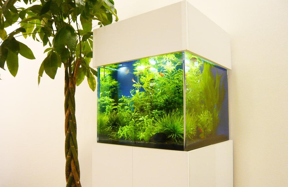 株式会社もしも様 オフィスに設置 50cm淡水魚水槽 レンタル事例 メイン画像