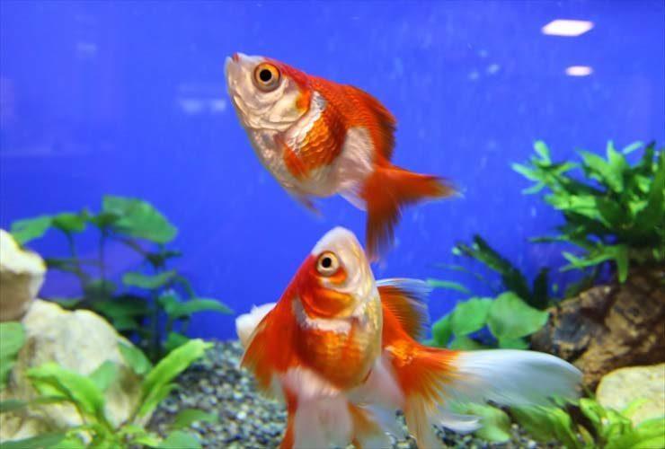 大人気!金魚水槽の設置事例をご紹介します 水槽画像3