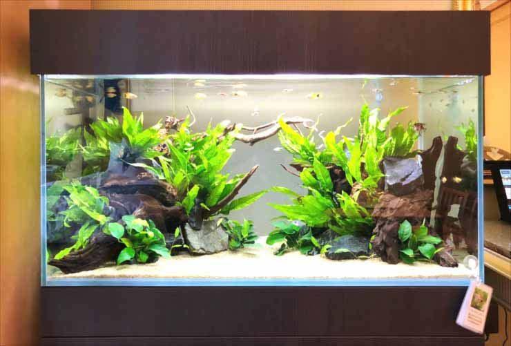 ホテルの客室 90cm淡水魚水槽 短期レンタル 設置事例 水槽画像2