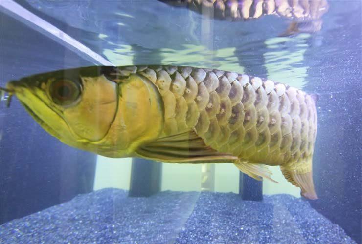 迫力満点!古代魚水槽特集 大型魚アクアリウムをご紹介します