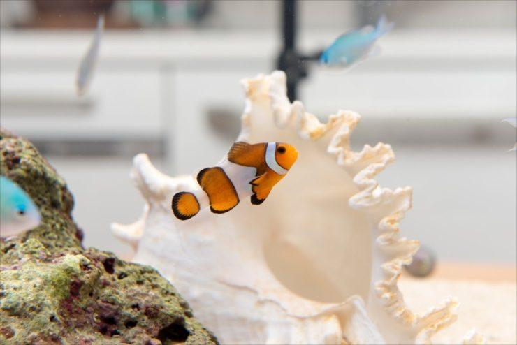 カクレクマノミの水槽事例特集 かわいいニモは大人気の熱帯魚です メイン画像