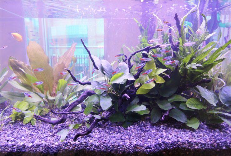 品川区 展示会イベント 60cm淡水魚水槽 短期レンタル事例 水槽画像3