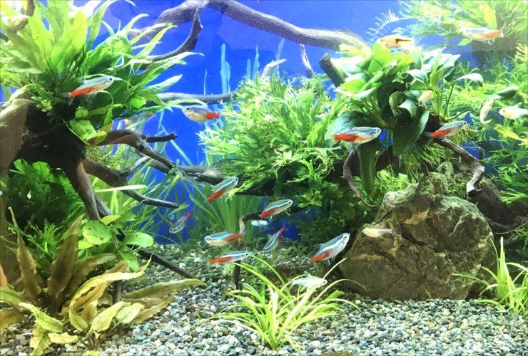 グリーンズクリニック様淡水魚水槽5