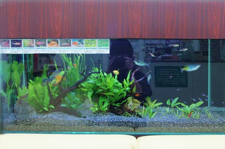 墨田区  薬局様  90cm淡水魚水槽  設置事例 水槽画像2