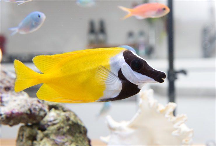 ヒフキアイゴ 熱帯魚