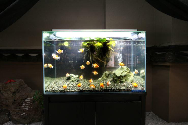 旅館のロビーに短期設置  60cm金魚水槽の事例 メイン画像
