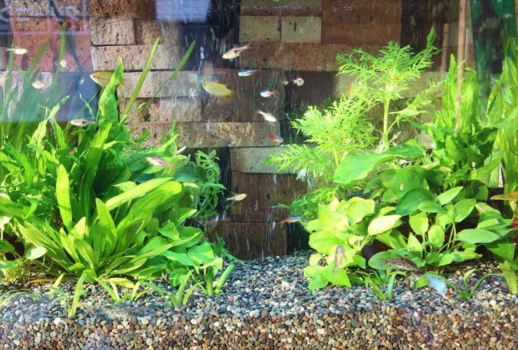 薬局の待合室(受付横)に設置 60cm淡水魚水槽事例 水槽画像2