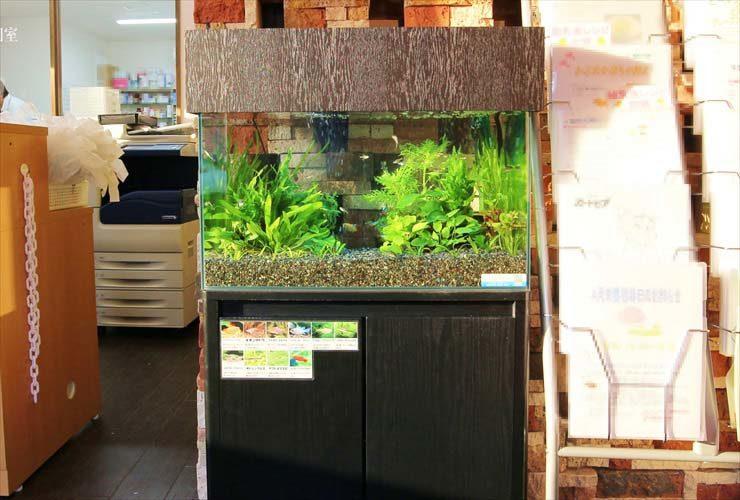 薬局の待合室(受付横)に設置 60cm淡水魚水槽事例 水槽画像3