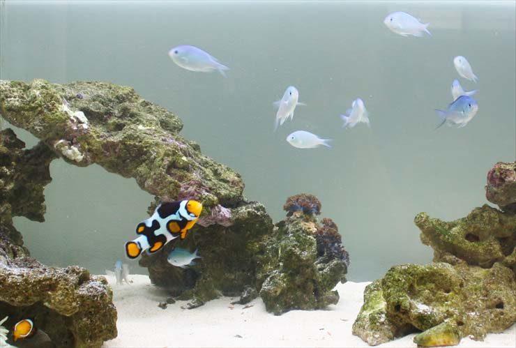 東京アクアガーデンのコケ対策!海水魚水槽のコケ掃除事例
