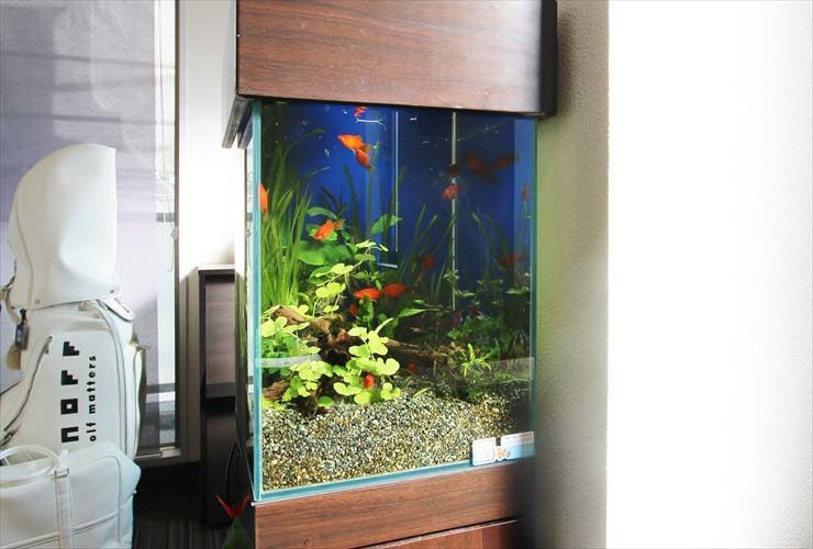 渋谷区 オフィスに設置 30cm水槽 淡水アクアリウム事例 メイン画像