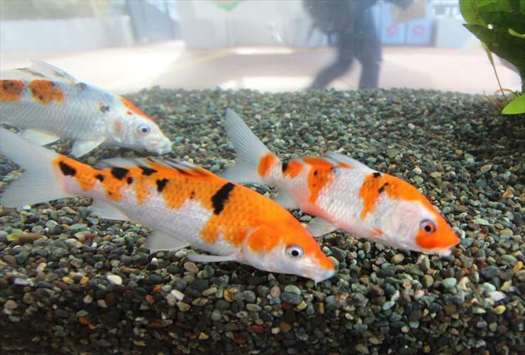 八王子市 大学内に設置 120cm淡水魚水槽 錦鯉水槽のレンタル事例 メイン画像