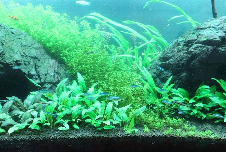 クリニック 待合室 大型淡水魚水槽 メンテナンス事例 水槽画像2