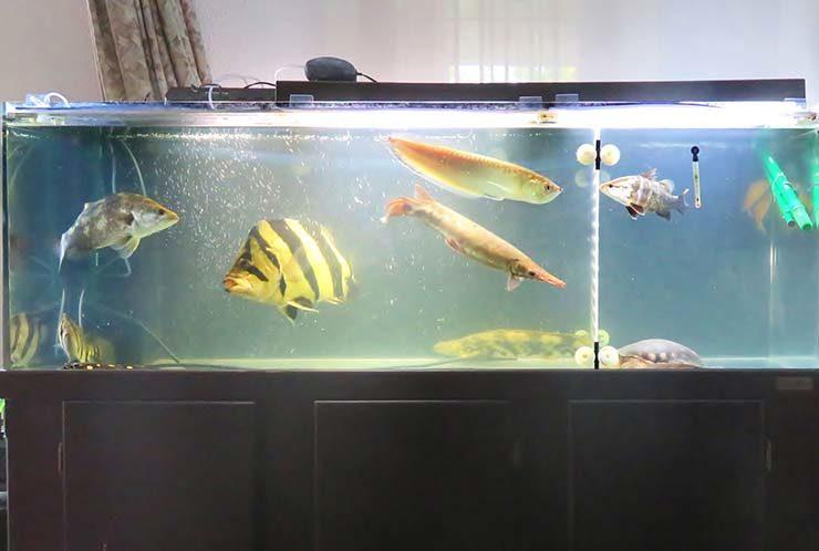 個人宅 リビング 大型古代魚水槽 スポットメンテナンス事例 メイン画像