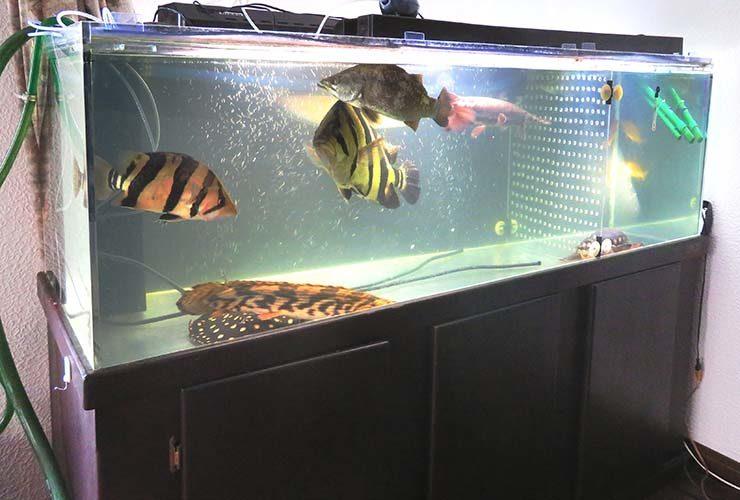 個人宅 リビング 大型古代魚水槽 スポットメンテナンス事例 水槽画像2