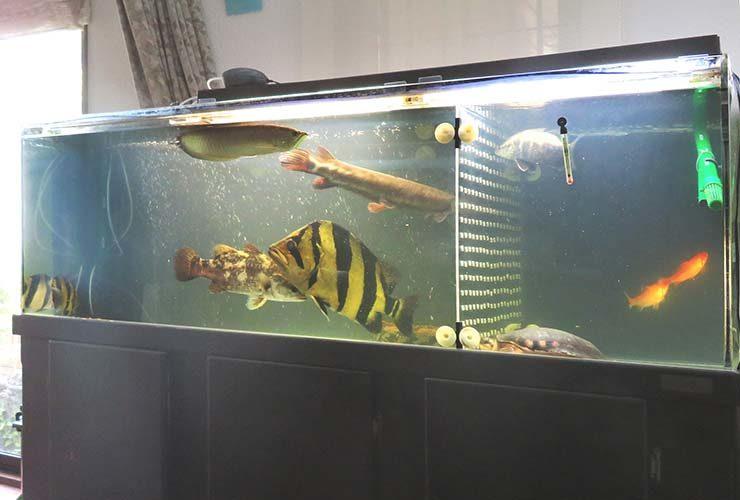 個人宅 リビング 大型古代魚水槽 スポットメンテナンス事例 水槽画像3