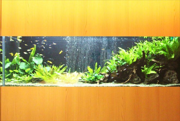 日本料理「魚月」様 150cm淡水魚水槽