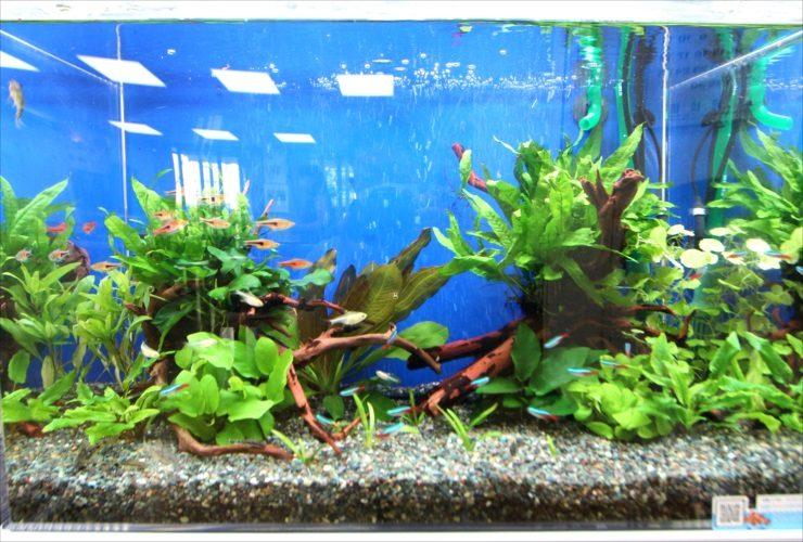 吉祥寺 高齢者センター 60cm淡水魚水槽 設置事例 水槽画像3