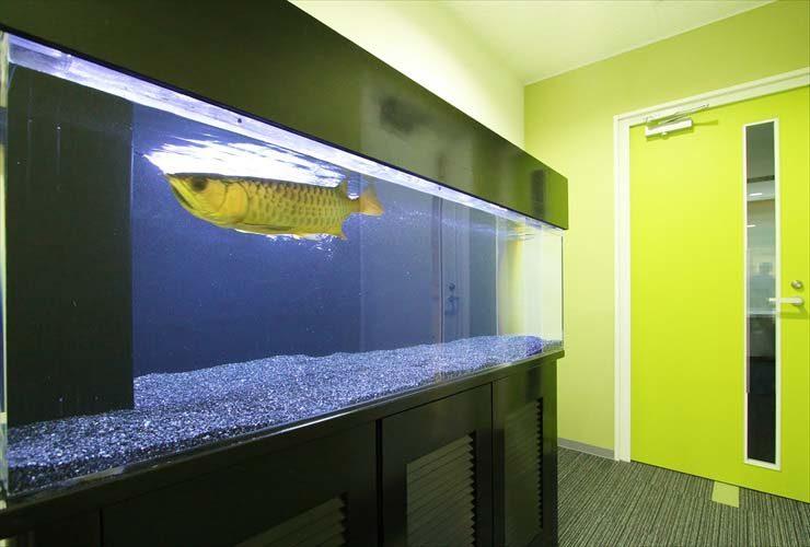 池袋 オフィス 大型水槽を設置 迫力満点のアロワナが泳ぎます! 水槽画像1