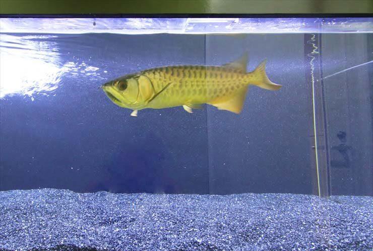 池袋 オフィス 大型水槽を設置 迫力満点のアロワナが泳ぎます! 水槽画像2