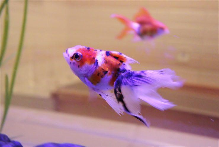 ホテル 客室 はめ込み型アクアリウム 金魚水槽販売 リニューアル事例 水槽画像3