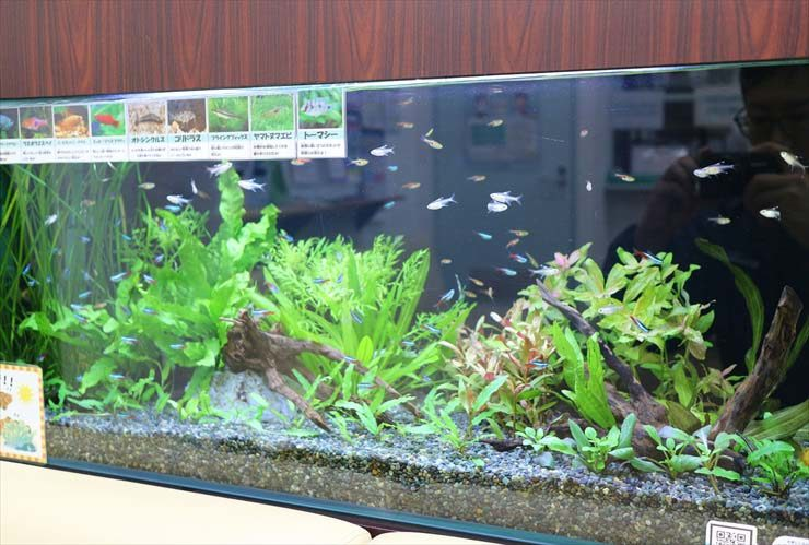 墨田区 薬局の待合室 淡水魚水槽のレイアウトリニューアル事例 水槽画像3