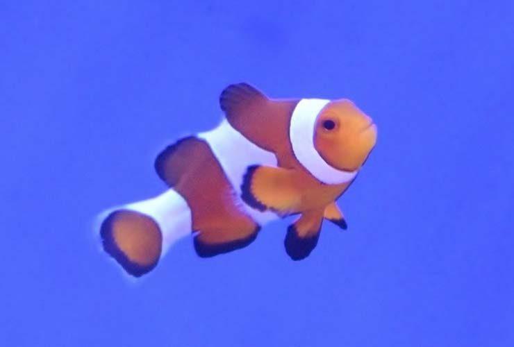 歯科クリニック 60cm海水魚水槽 カクレクマノミ画像