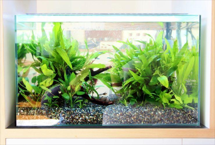 ドラマ撮影 60cm淡水魚水槽 短期レンタル事例 水槽画像3