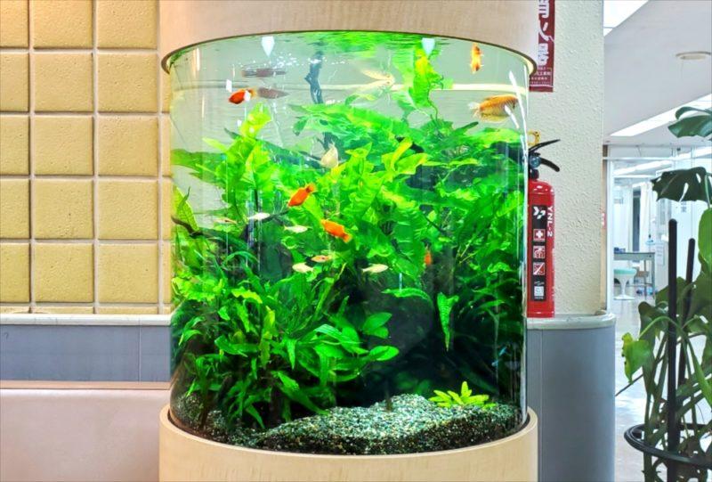 病院の待合室に設置 60cm円柱淡水魚水槽 その後 水槽画像4