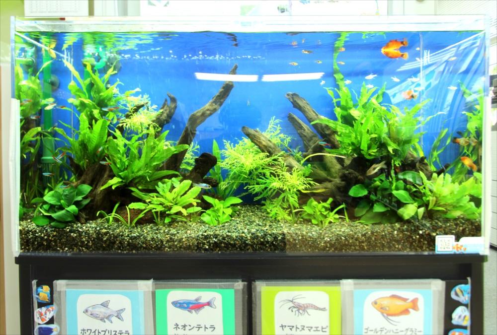 港区保育園 90cm淡水魚水槽 アップ画像
