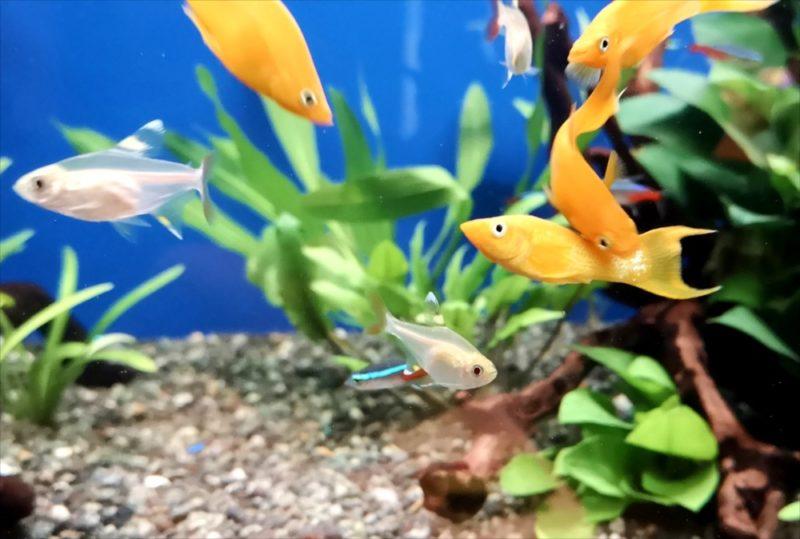飲食店 120cm淡水魚水槽 設置事例 吉祥寺 水槽画像5