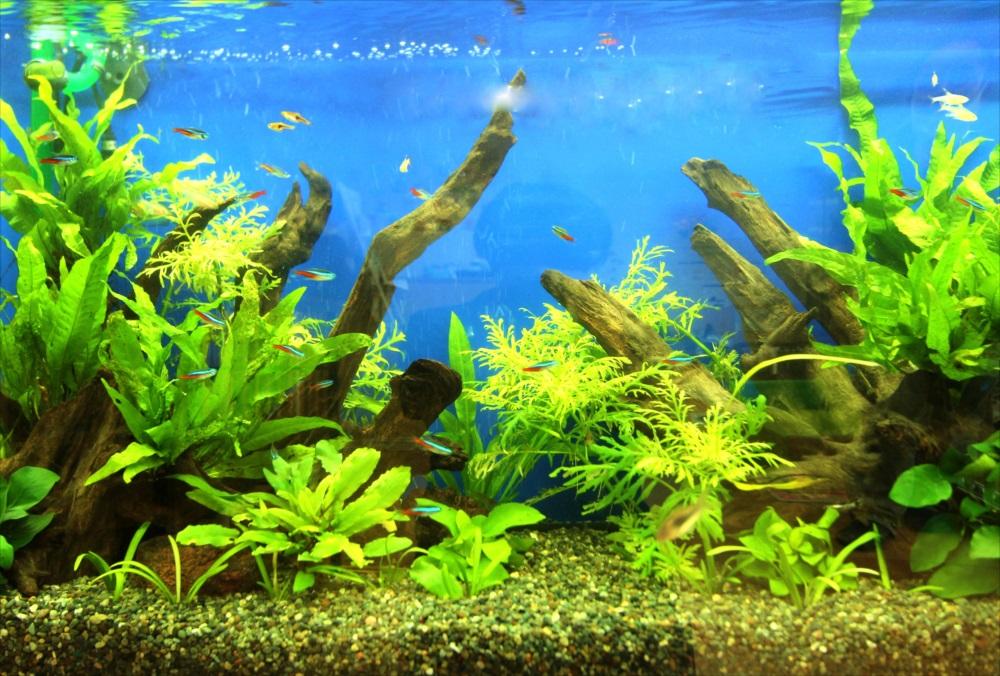 港区保育園 90cm淡水魚水槽 水槽の中