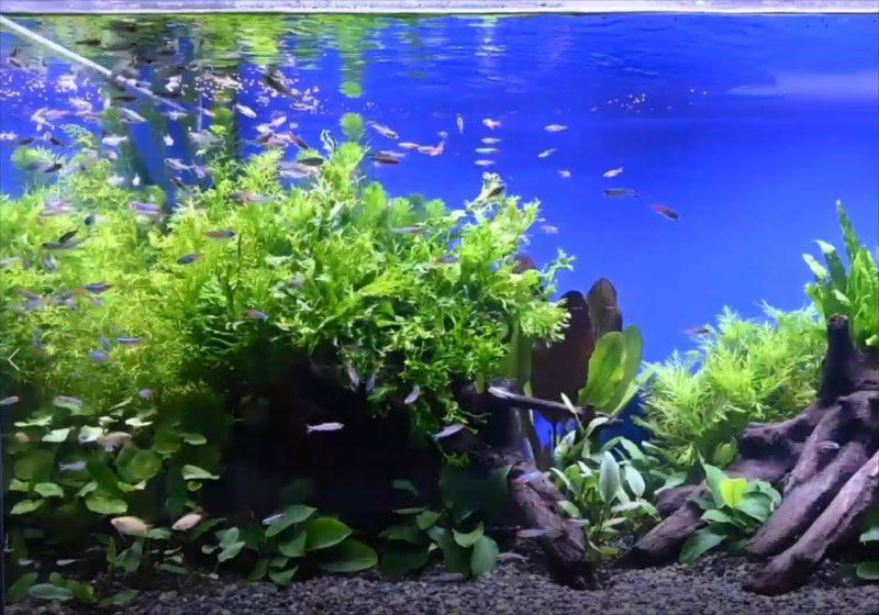 YouTube撮影用 美しい淡水魚水槽をご覧ください 水槽画像2