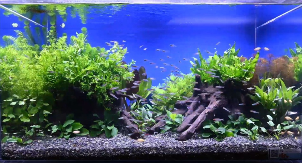 YouTube撮影用 美しい淡水魚水槽をご覧ください