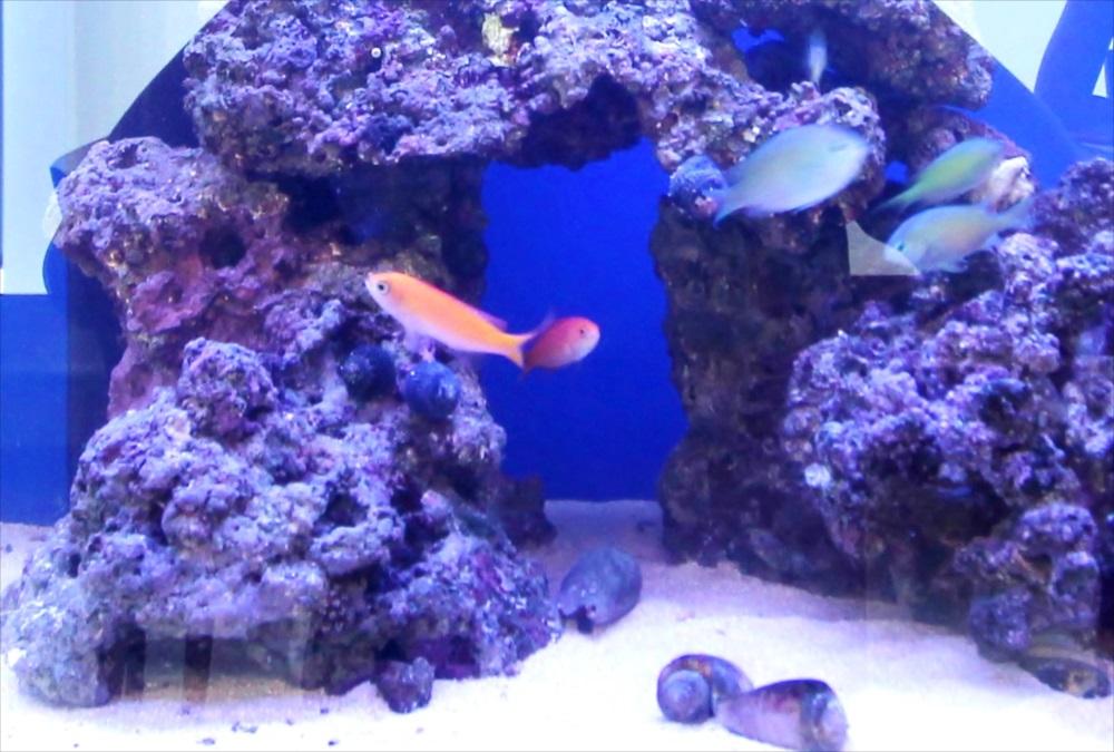 個人宅 60cm海水魚水槽 生体アップ画像