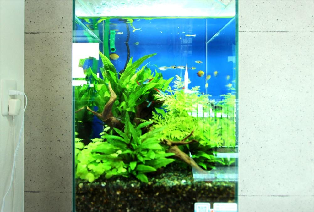 個人宅 お試し30cm淡水魚水槽 生体画像