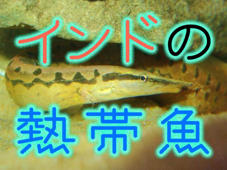 トロピカ更新「インドの熱帯魚!アクアリウムにおすすめでユニークなインド産の魚10選!」