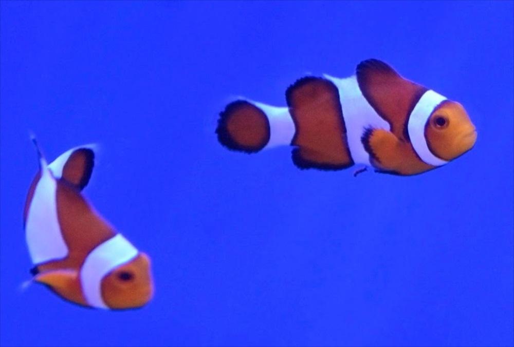 カクレクマノミ 生体画像
