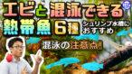 YouTube更新「エビと混泳できる熱帯魚!シュリンプ水槽におすすすめの生体6種と混泳の注意点」