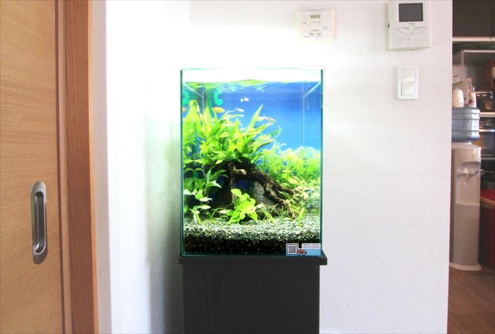 自宅 30cm淡水魚水槽 生体画像