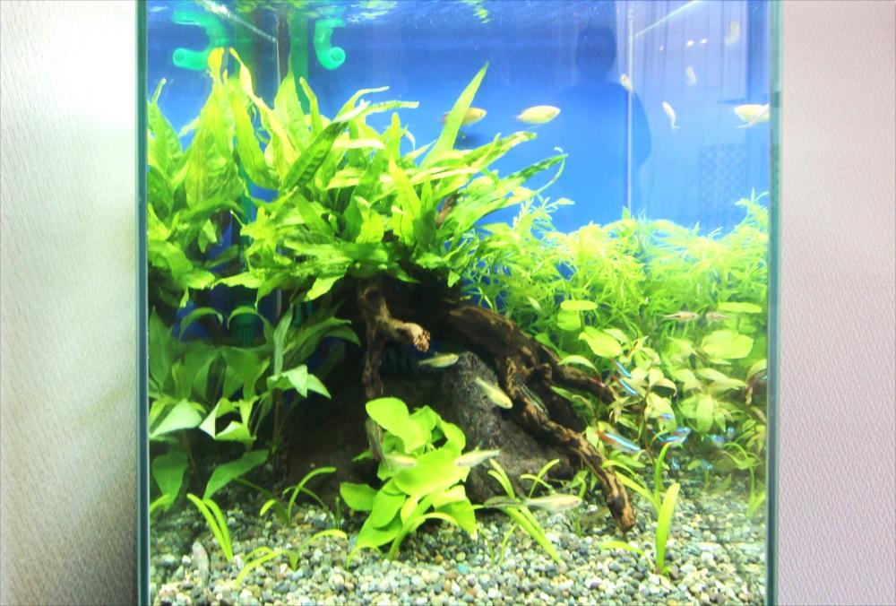 自宅 30cm淡水魚水槽 水草画像