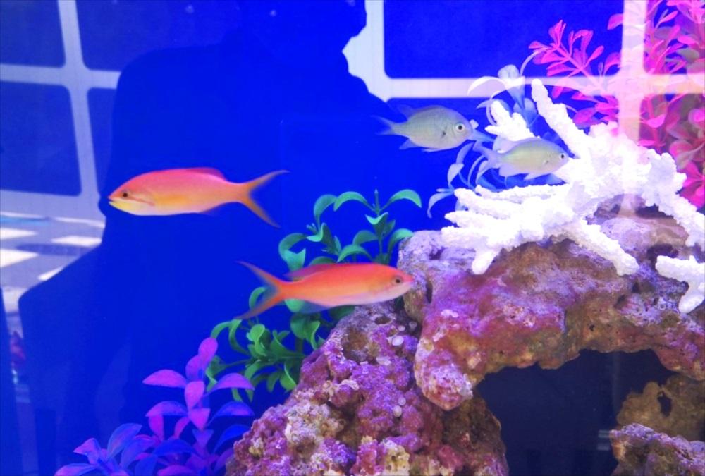 歯科クリニック 60cm海水魚水槽 生体画像