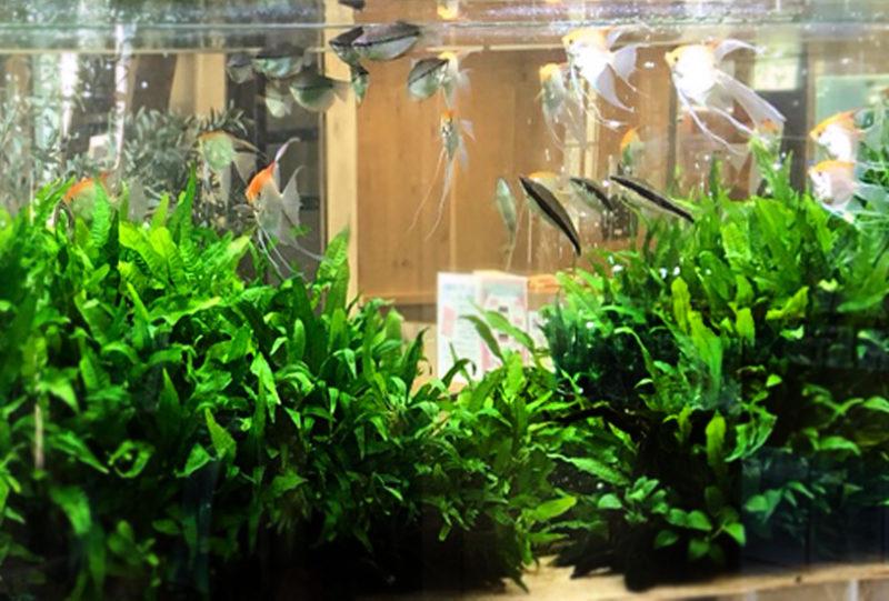 薬局の待合室 大型淡水魚水槽 設置事例 その後 水槽画像4