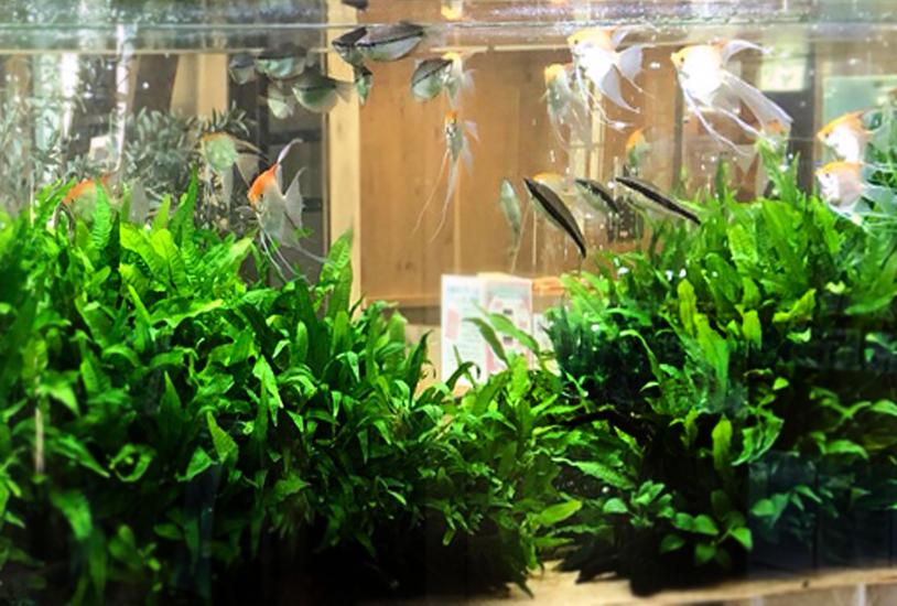 薬局の待合室 大型淡水魚水槽 水草画像