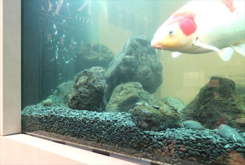 大学キャンパス 大型鯉水槽 スポットメンテナンス事例 水槽画像4