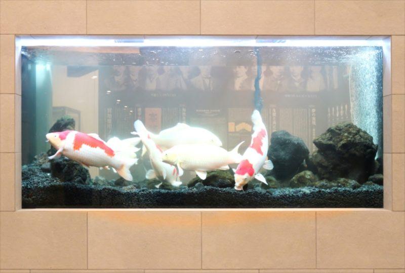 大学キャンパス 大型鯉水槽 スポットメンテナンス事例 水槽画像3