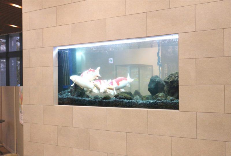 大学キャンパス 大型鯉水槽 スポットメンテナンス事例 水槽画像1
