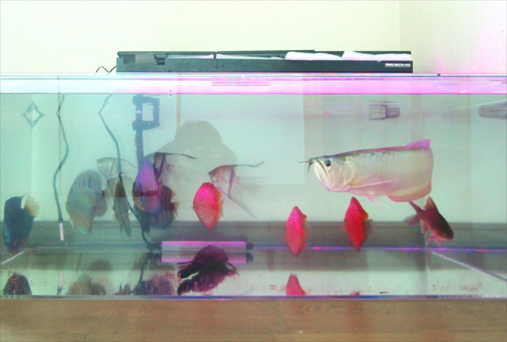 個人宅 アロワナ水槽 魚画像