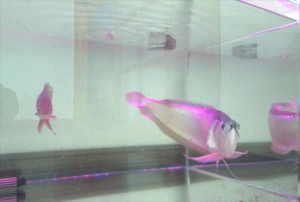 個人宅 アロワナ水槽 生体アップ画像