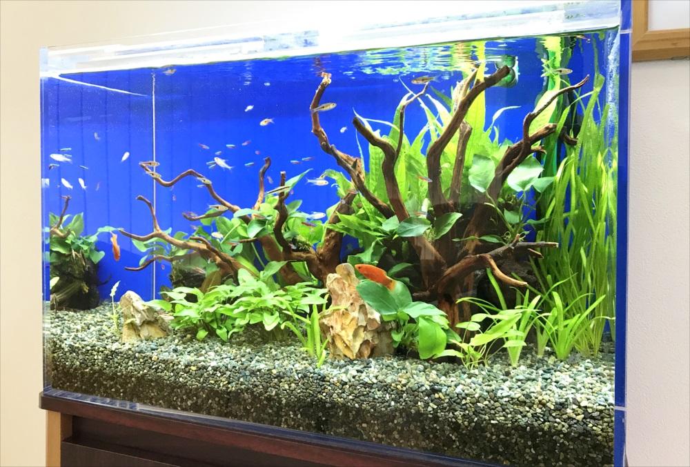 メディカルクリニック 60cm淡水魚水槽 生体画像
