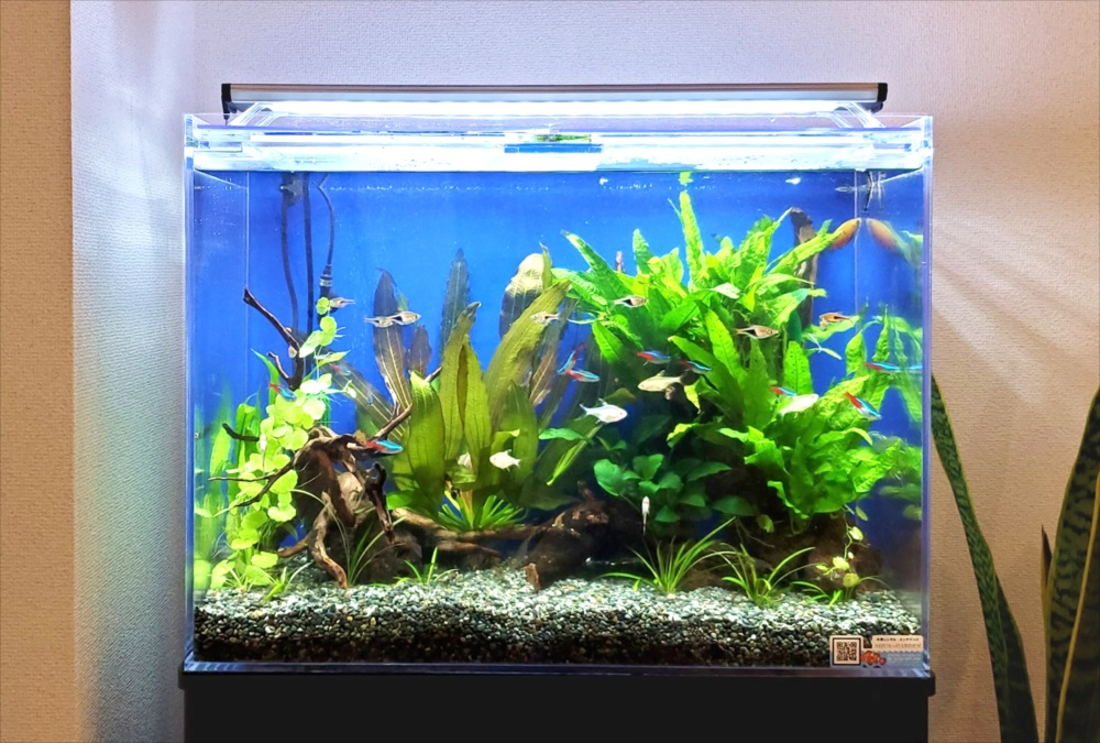 オフィスのエントランス 60cm淡水魚水槽 アップ画像